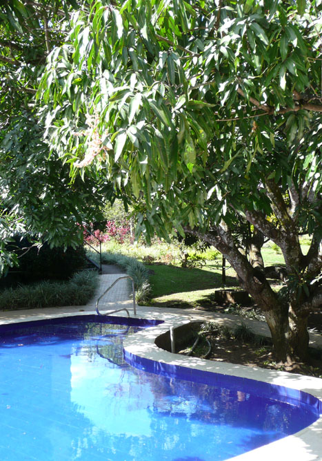 Hotel pool and mango tree